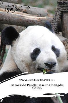 Chengdu, China Travel, Panda Bear, Animals, Animales, Animaux, Pandas, Animal Memes, Animal