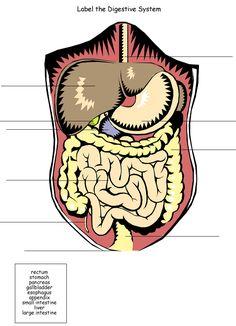 Homeschool Helper Online's Free Digestive System Worksheet