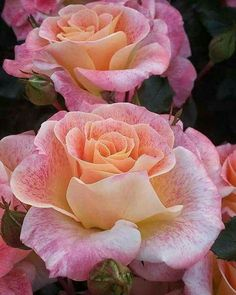 The beautiful rose! Beautiful Rose Flowers, Pretty Roses, Love Rose, All Flowers, Flowers Nature, Exotic Flowers, Amazing Flowers, Purple Roses, Pastel Roses