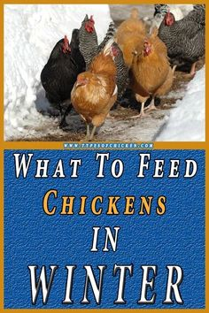 Tiere : Poulailler What to feed chickens in winter? Daylight has an imperative part in your chickens What To Feed Chickens, Types Of Chickens, Keeping Chickens, Raising Chickens, Urban Chickens, Chickens In The Winter, Chicken Eating, Building A Chicken Coop, Grow Your Own Food