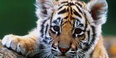 Tiger8