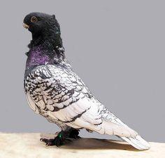 Black laced blondinette oriental frill pigeon
