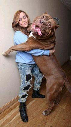 Huge Dogs, Giant Dogs, I Love Dogs, Massive Dogs, All Dogs, Pitbull Terrier, Bull Terriers, Big Pitbull, Hulk The Pitbull