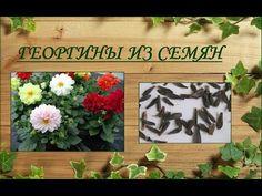 Георгины из семян - YouTube