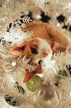 .Christmas kitty curiosity.