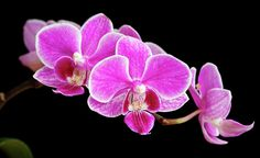 Orchids On Black by Serhii Kucher Beautiful branch of pink orchids isolated on a black background Beauty Photography, Fine Art Photography, Succulent Outdoor, Pink Orchids, Orchid Plants, Botanical Art, Black Backgrounds, Succulents, Art Prints