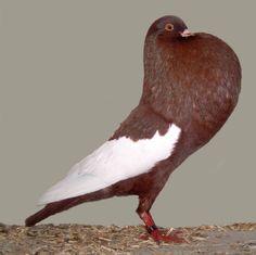 Schalaster Pouter Pigeon