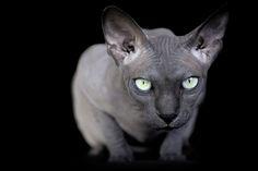 Entre chiens et chats: Sous les poils des chats, le sphynx - News Loisirs: Animaux - lematin.ch