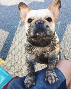 18 French Bulldogs That Are Ready To Fetch Your Heart French Bulldog Pictures, Cute French Bulldog, French Bulldog Puppies, Baby Puppies, Cute Puppies, Cute Dogs, French Bulldogs, Animals And Pets, Baby Animals