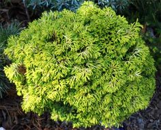 chamaecyparis obtusa `Golden Sprite' - Seedlings & Liners › Conifers | Maplestone Ornamentals