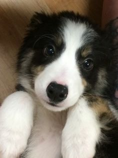 Beautiful Collie Pup- Molly | Ross On Wye, Herefordshire | Pets4Homes