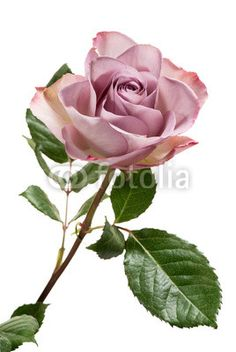 Zdjęcia na płótnie, fototapety, obrazy : Lavender Colored Rose on White Background