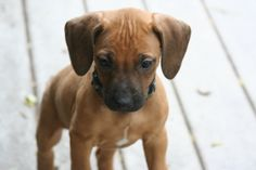 Rhodesian Ridgeback - How can you not be in love with that little face?
