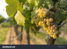 Find Grapes Evening Light stock images in HD and millions of other royalty-free stock photos, illustrations and vectors in the Shutterstock collection. Thousands of new, high-quality pictures added every day. Vineyard, Fruit, Image