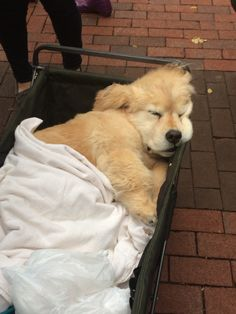 And when this puppy thought that his carriage was just a portable bed. | 23 Times Golden Retriever Puppies Were Huge Dweebs