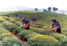 Our #tea leaves are handpicked by highly skilled #FairTrade workers