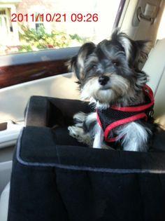 My Morkie Puppy Rocco