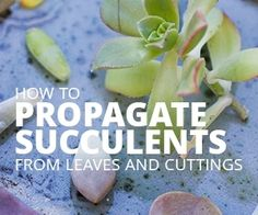 succulents from leaves and grow more than you need with the tips in this post! But watch out, propagating succulents is fun and addicting!Propagate succulents from leaves and grow more th. Propogate Succulents, Propagate Succulents From Leaves, How To Water Succulents, Succulent Cuttings, Succulent Seeds, Growing Succulents, Succulent Gardening, Succulent Care, Succulents In Containers