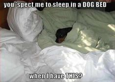 Funny Dachshund Pictures with Captions . dachshund - Page 41 - Loldogs n Cute Puppies - funny dog pictures Funny Dachshund Pictures, Funny Pictures With Captions, Dachshund Love, Funny Animal Memes, Dog Memes, Funny Animal Pictures, Funny Dogs, Funny Animals, Cute Animals