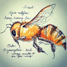 Honey Bee Drawing by Artdynamo