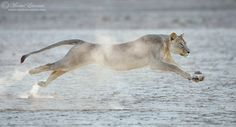 """Lion in Flight - We just came back from an amazing trip to the Kalahari, and the obvious highlight was witnessing lions stalking, chasing and killing an antelope right next to us. This is one of the frames I was most excited about capturing. I hope you like it!   This is a totally wild lion...  Photo taken in the Kgalagadi Transfrontier Park, South Africa/Botswana.  <a href=""""http://www.morkelerasmus.com/"""">WEBSITE</a> <a href=""""http://www.facebook.com/morkel.erasmus.photo"""">FACEBOOK</a> ..."""