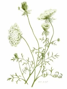 14 Best Foraging Queen Anne S Lace Wild Carrot Images Queen