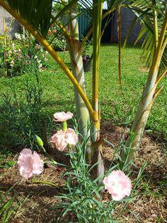 cravo rosa delicado