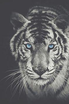 Imagen de tiger, blue, and eyes
