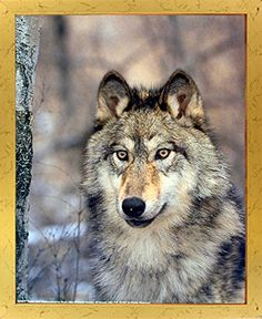 If you want to make a big impact in your living room? Add this wonderful timber wolf animal art print framed poster. This framed poster captures the image of a grey wolf with a big brown eyes looking at you is sure to grab lot of attention. Your guests will definitely compliment you for your excellent taste. Its wooden golden frame accentuates the poster mild tone. The frame is made from solid wood measuring 18x22 inches with a smooth gesso finish.