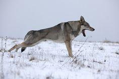 Czechoslovakian wolfdog. Not a wolf!
