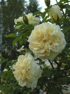 Agnès est un arbuste de140 à 180 cm, au port souple, se couvrant dès la mi-mai de fleurs très doubles, jaunes pâle, au délicieux parfum de citronnelle. Accepte la mi-ombre. En principe, non-remontant, mais peut offrir des remontées sporadiques. Sensibilité à la rouille. Hybride de rugosa. Saunders, 1920.