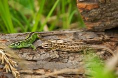Nebojte sa plazov. Sú prirodzenou ochrankou záhrady - Záhrada.sk Animals, Animais, Animales, Animaux, Animal, Dieren