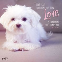 I read this & would like to say it's solely about our Maltese but there's a story behind it. Love does find us. God gives us people & dogs to unconditionally love. These things are never random or luck. NO ITS BIGGER THAN THAT. Teacup Maltese, Maltese Dogs, Cute Puppies, Cute Dogs, Dogs And Puppies, Doggies, Animals And Pets, Baby Animals, Cute Animals