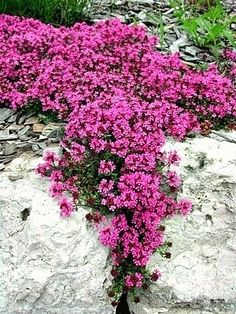 "Creeping Thyme | Sun or shade ▪ (H) 2-4"" ▪ Bloom: Summer ▪ Zone: 4-8"