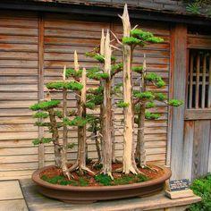 Bonsai Juniper Forest