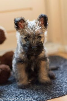 Cody from 0 to 14 weeks. Cairn Terrier Puppies, Terrier Breeds, Bull Terrier Dog, Terrier Mix, Dog Breeds, Cute Puppies, Cute Dogs, Dogs And Puppies, Doggies