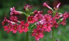 Primula japonica 'Miller's Crimson' - japaninesikko