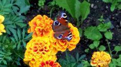 Павлиний глаз, бабочка
