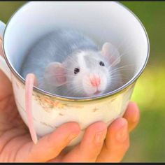 Don't tell me this is not adorable! Rats can be pets too, they are really smart :)