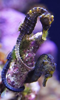 seahorses2 | Flickr - Photo Sharing!