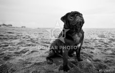 Black pug on beach