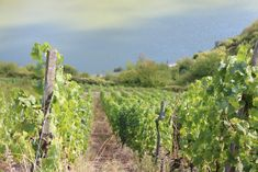 The Best Vineyards in Germany's Moselle Region