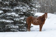 17988340-Large-brown-horse-standing-in-falling-snow-near-snow-covered-evergreen-tree-Stock-Photo.jpg (1300×866)