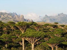 SOCOTRA, YEMEN The island of Socotra is considered the jewel of the Arabian Peninsula and in 2008 was recognized as a UNESCO world heritage natural site. Dracaena Cinnabari, Terre Nature, Dragon Blood Tree, Beautiful Forest, Nature Tree, Fauna, World Heritage Sites, Peru, Island