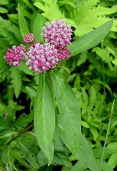 Swamp Milkweed  Asclepias incarnata    This wildflower is common in swampy areas and along stream banks.