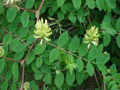 Astragalus este una dintre cele mai folosite plante in medicina traditionala chineza. Numit si Huang qi, aceasta planta vindeca.