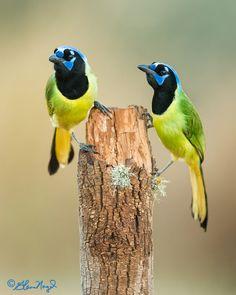 Pair of Green Jays by Glenn Nagel on 500px