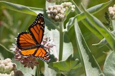 From LivingWilderness - Monarch Butterfly (35 pieces)