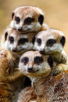 A family of Meerkats with their Mona Lisa smile :)