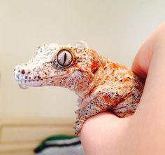Gorgeous Gargoyle gecko! Dat grin... :3